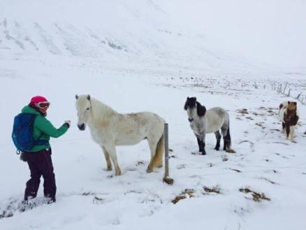 chevaux-islandais